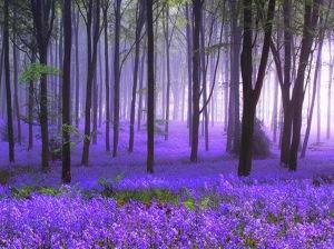 Field or Purple Beauty