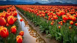 Tulip-Flowers-Nature-Wallpaper
